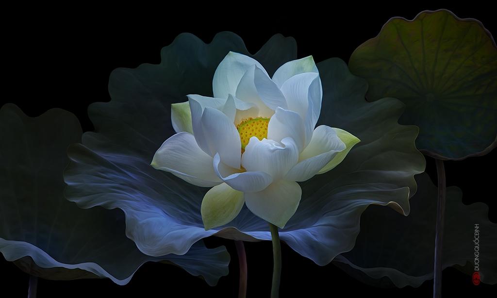 Meditazione del fior di loto